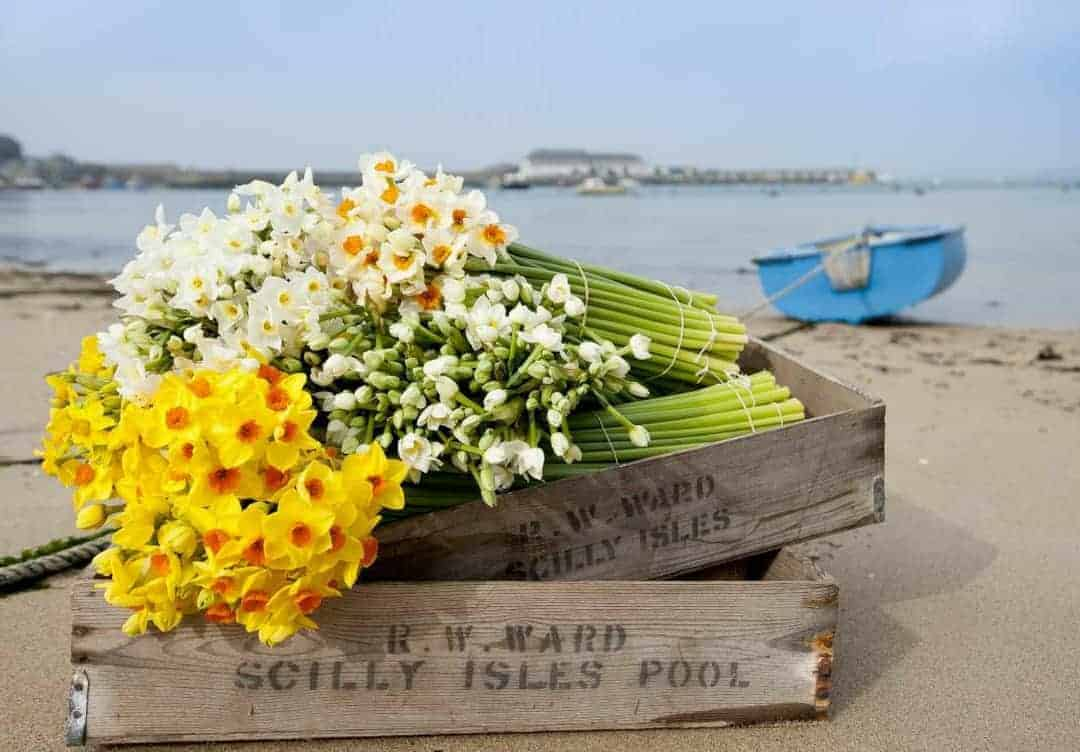 scilly flowers