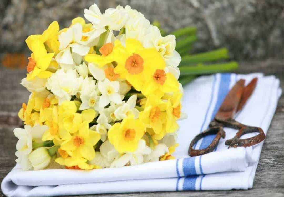 beautiful narcissi with simple blue and white linen tea towel cloth and vintage scissors. Grown on the scilly isles