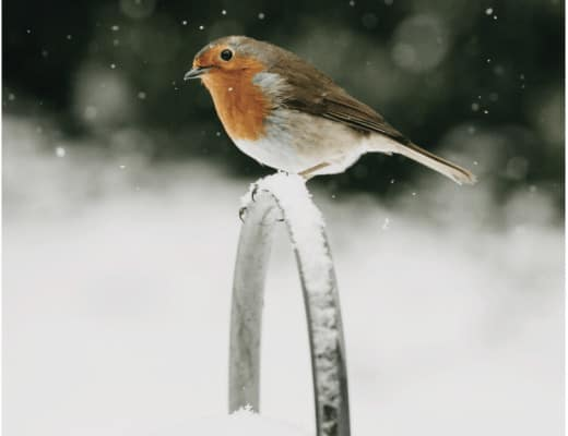 robin on watering can in the snow christmas card by eva nemeth #christmas #card #robin #snow #wateringcan