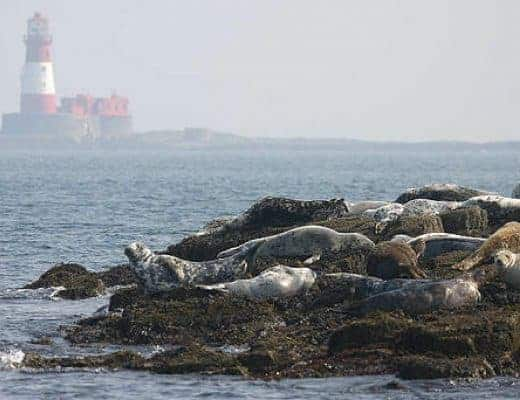 holy island seals northumberland