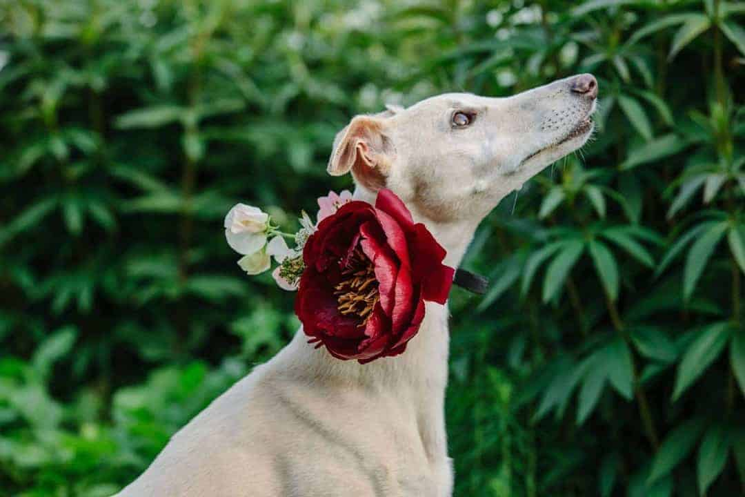 wedding flowers around dog's collar for country wedding. Click through for more inspiring country wedding ideas you'll love