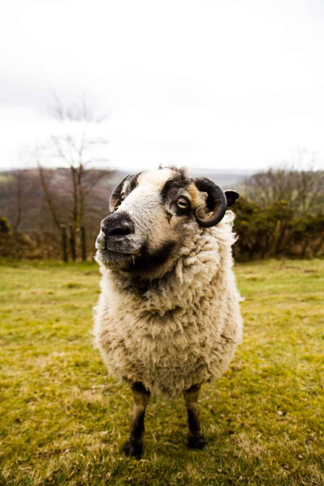 izzy lane sheep