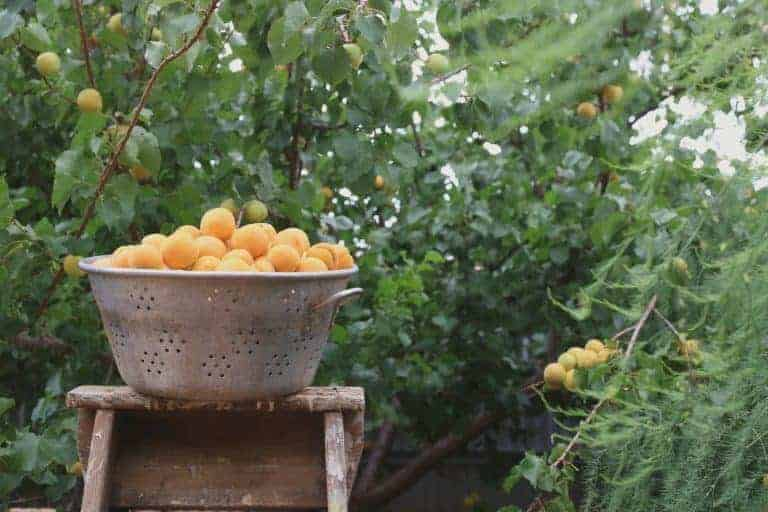 love this image from creative countryside magazine picking apricots