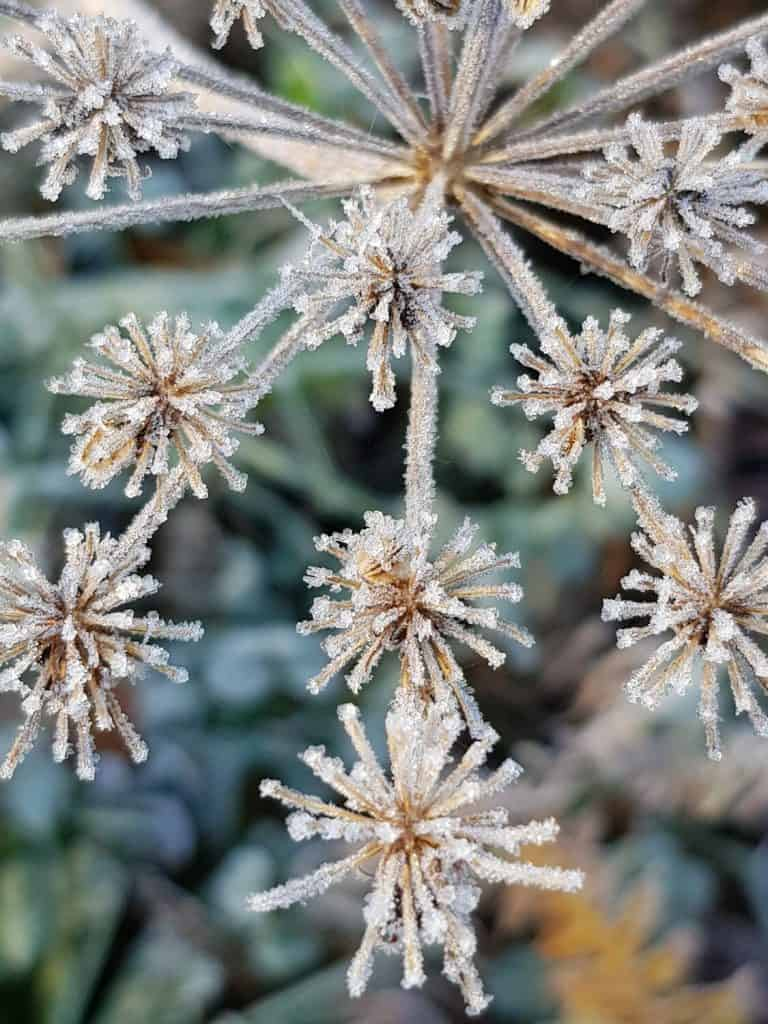 love this meadow weed in the frost