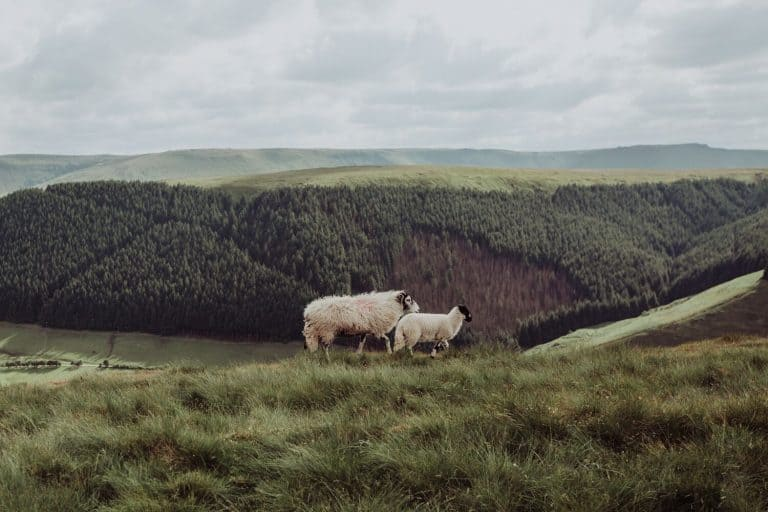 peak district sheep on hillside