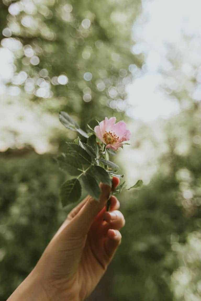 pink wild rose in hand photograph by oak and claw