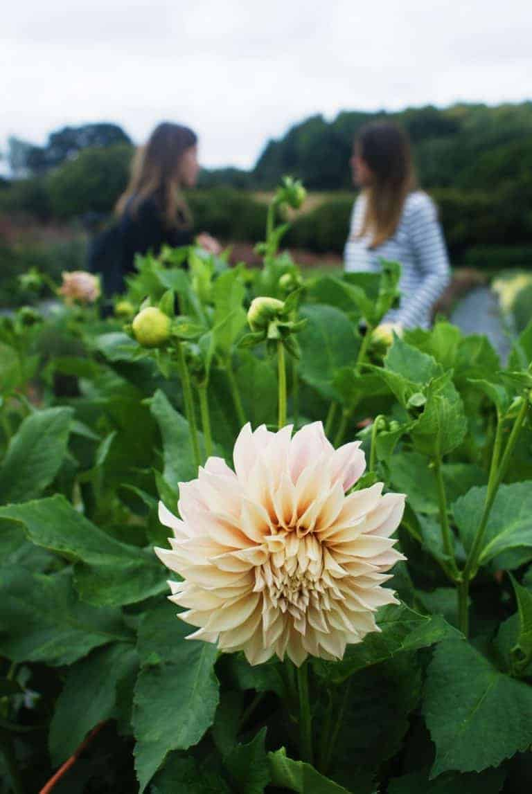 love this cafe au lait dahlia grown at the real flower company. click through for more images of beautiful fragrant flowers you'll love