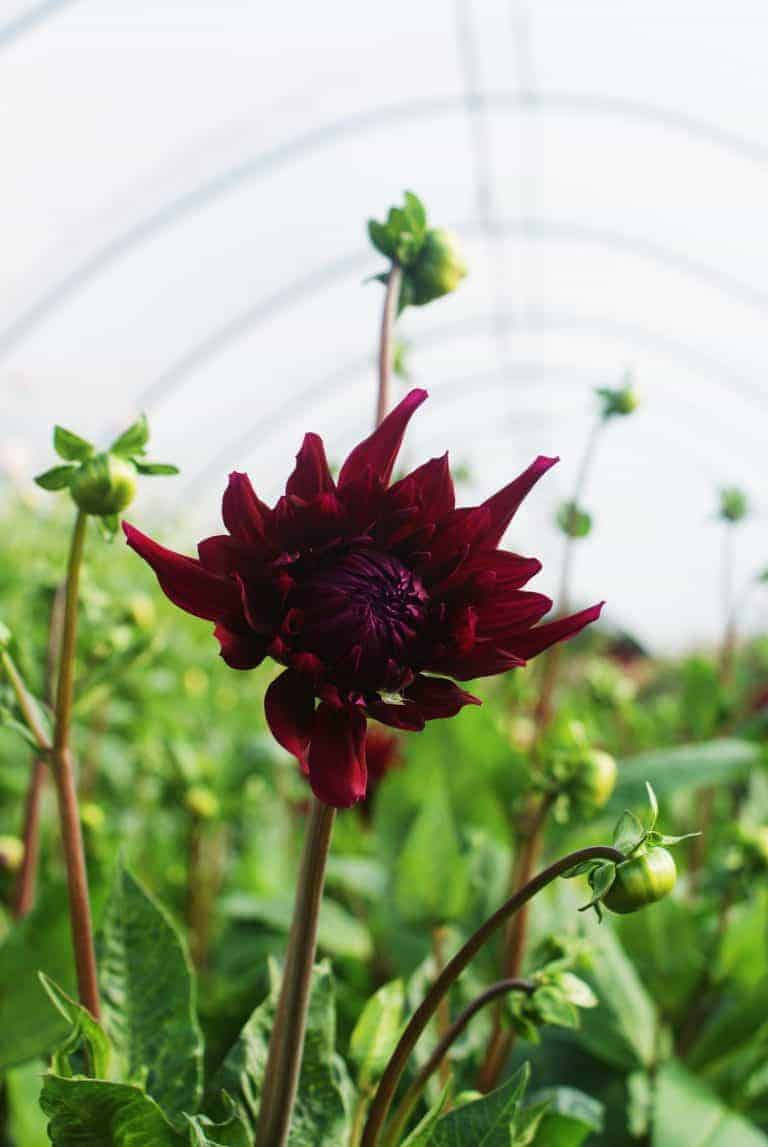 love this dark red dahlia grown by the real flower company at their farm in hamshire