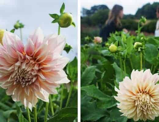 real flower company cafe au lait dahlia