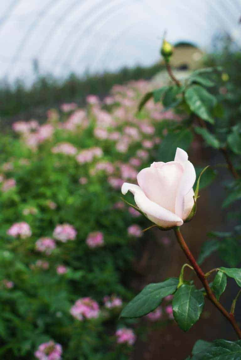 love this pale pink english rose grown by the real flower company. Click through to join me on a farm walk around their fragrant Hampshire farm