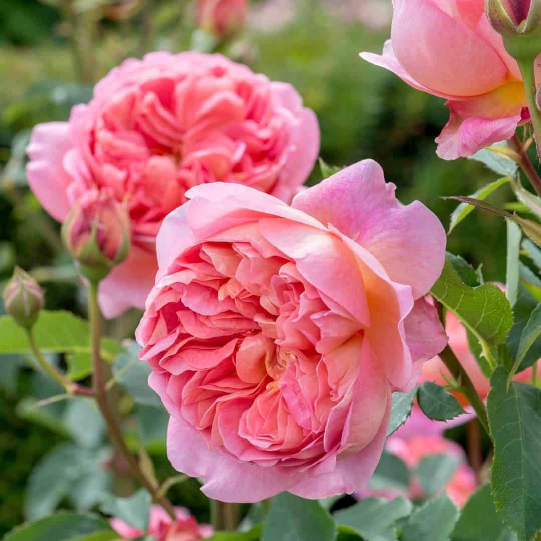 love this boscobel coral fragrant scented rose by david austin. Click through for more ideas you'll love for bringing a splash of pantone colour of the year living coral into your garden, home and life