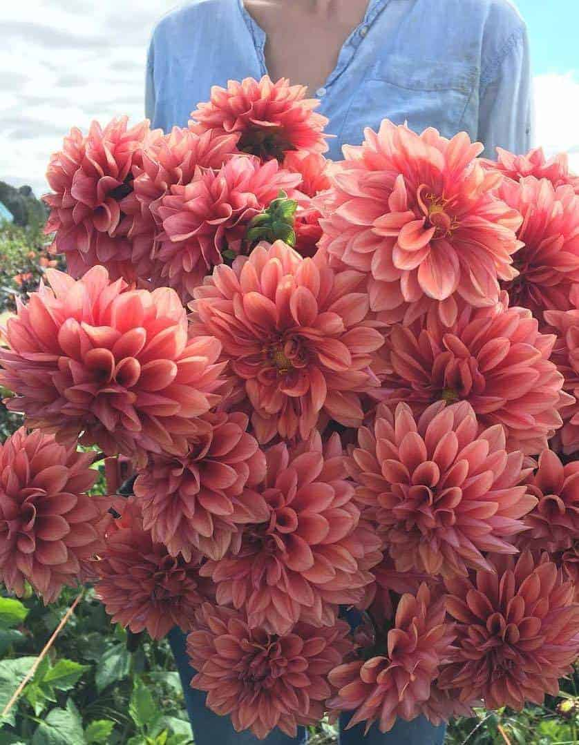 love these smoky coral Mystique dahlias by Floret flowers - click through to find out more and to see other creative ideas for bringing a beautiful splash of coral - pantone colour of the year - into your life