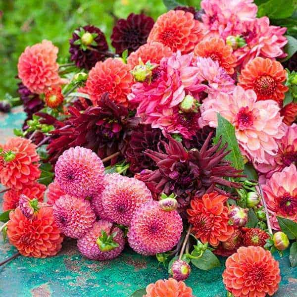 love these bright and coral dahlias from sarah raven. Click through for more ideas you'll love for bringing a splash of pantone colour of the year living coral into your garden, home and life