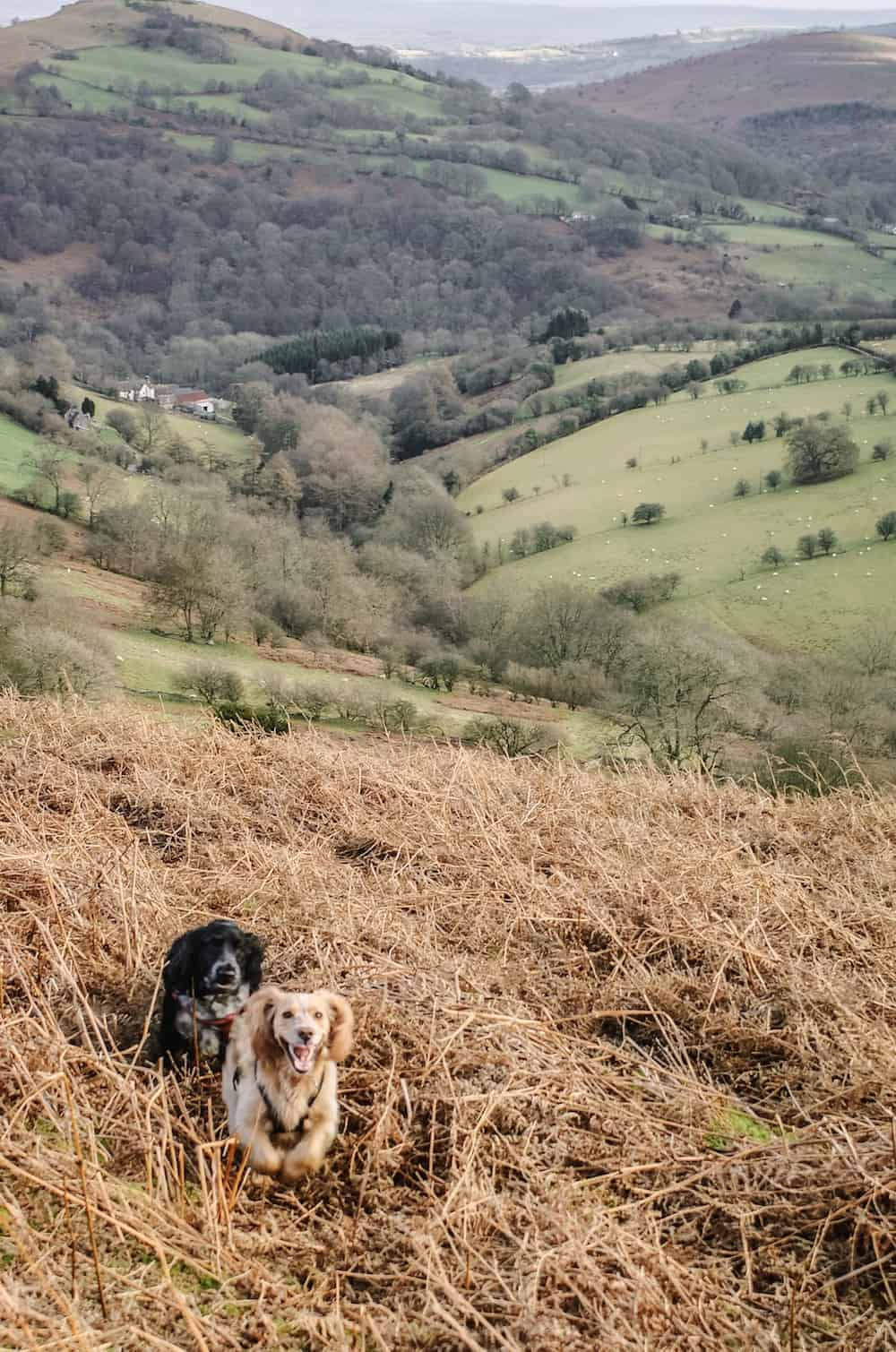 dog walking in the brecon beacons in wales near the black mountains between Abergavenny and Llanthony. Click through to see more images from our stay as well as inside shots of beautiful modern rustic Patrishow Farm where we stayed