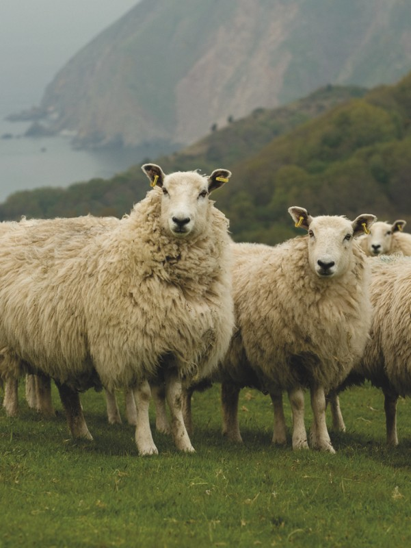 EXMOOR-BLUEFACE-SHEEP-John-Arbon