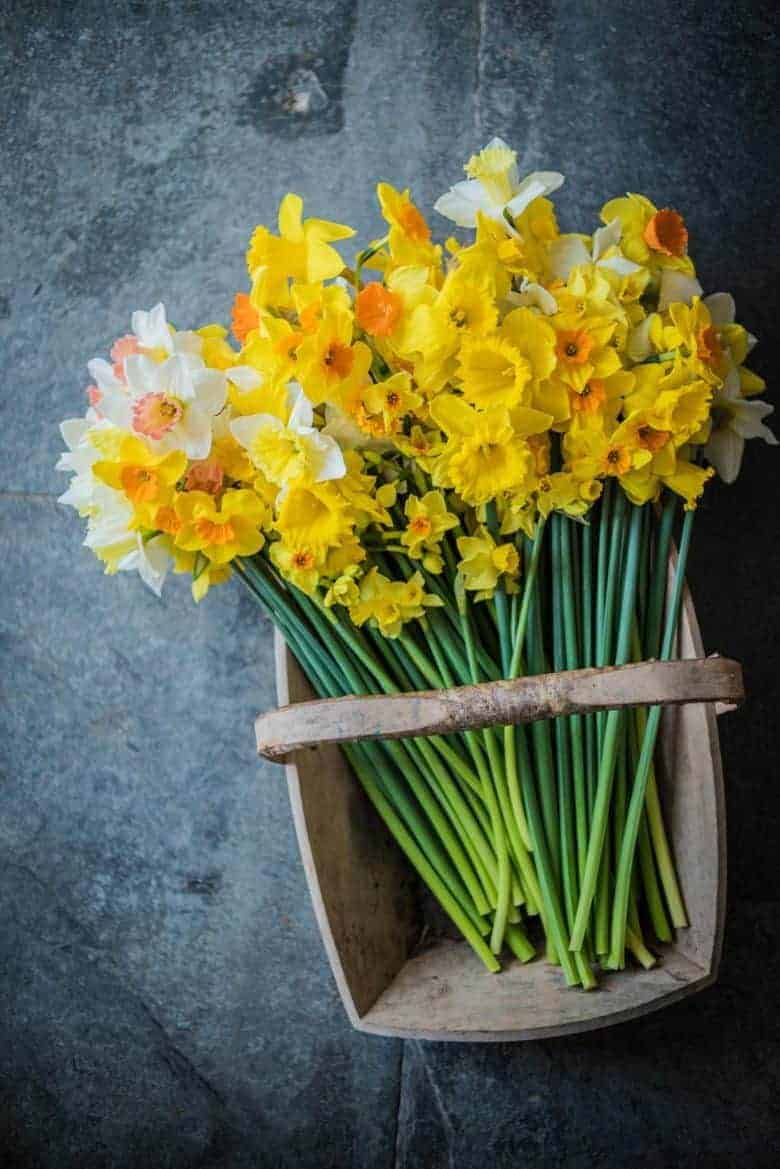 fentongollan daffodils grown in cornwall with care for the environment and sent direct from the farm by post