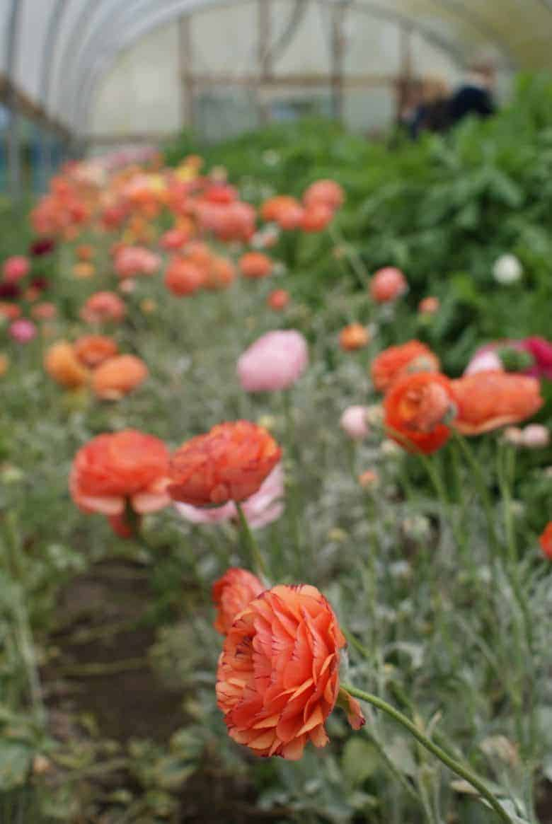 how to start a cutting garden flower growing for cut flowers - expert tips and ideas to help you create your own flower cutting patch and pick the most beautiful sustainable flowers all year round like these stunning salmon coral pink ranunculus. Click through to get all you need to know from green & gorgeous, the real flower company, floret flower farm and more #cuttinggarden #britishflowers #flowers #growing #sustainable #frombritainwithlove #ranunculus