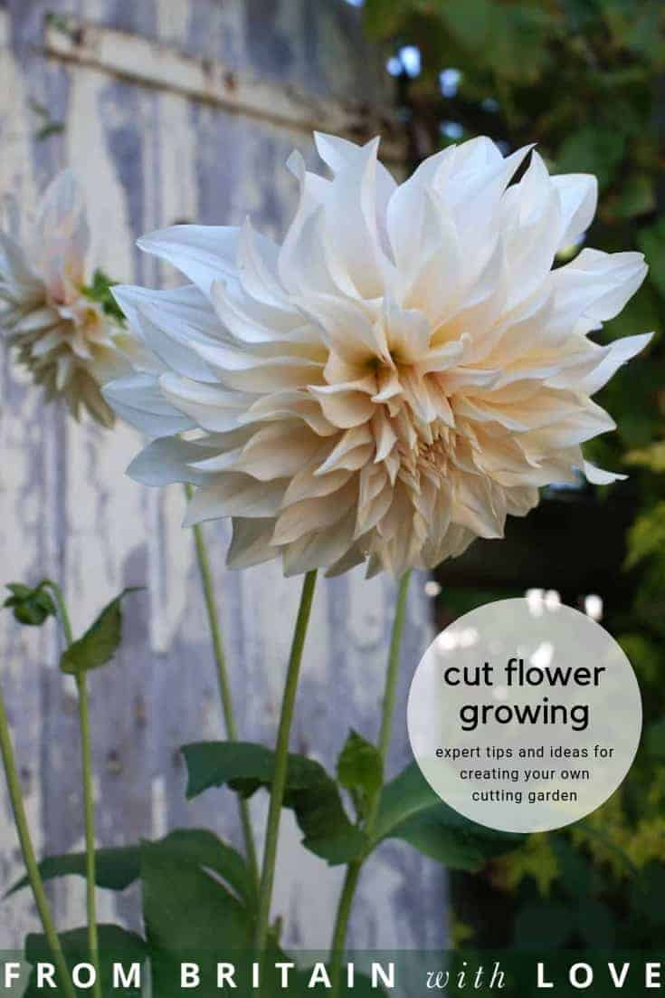 how to start a cutting garden flower growing for cut flowers - expert tips and ideas to help you create your own flower cutting patch and pick the most beautiful sustainable flowers all year round like this cafe au lait dahlia. Click through to get all you need to know from green & gorgeous, the real flower company, floret flower farm and more #cuttinggarden #britishflowers #flowers #growing #sustainable #frombritainwithlove