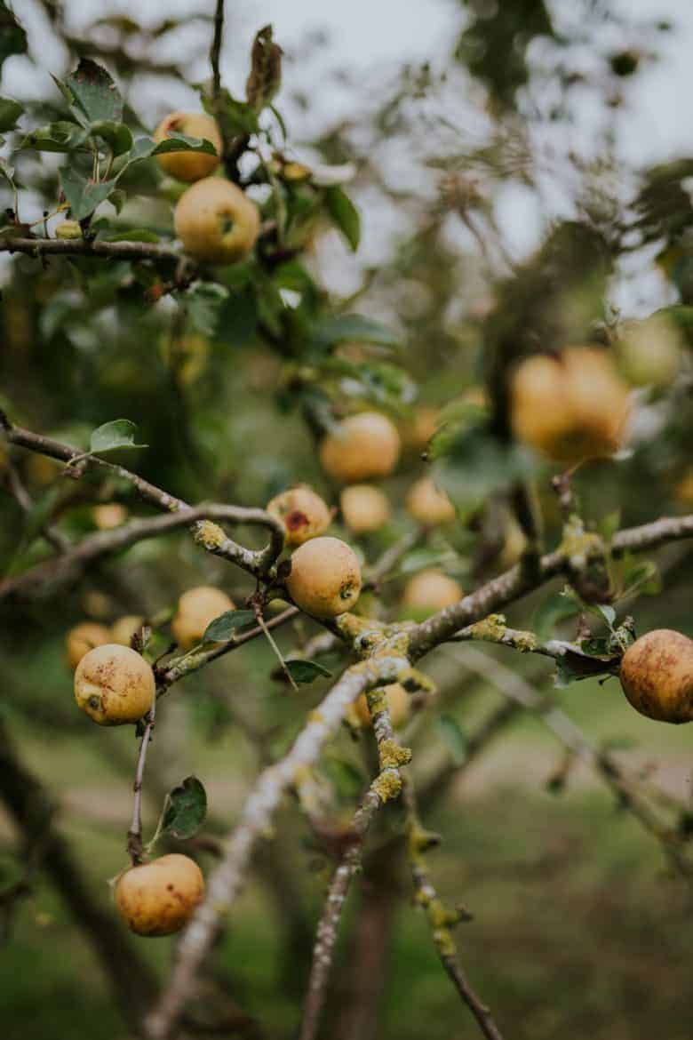 golden apples on tree orchard - flower photography tips and ideas from photographer Eva Nemeth including expert tips on how to create depth of field, work with light, texture, aperture and f stops to take beautiful flower and garden photographs #flowerphotography #photography #tips #frombritainwithlove #apples #orchard