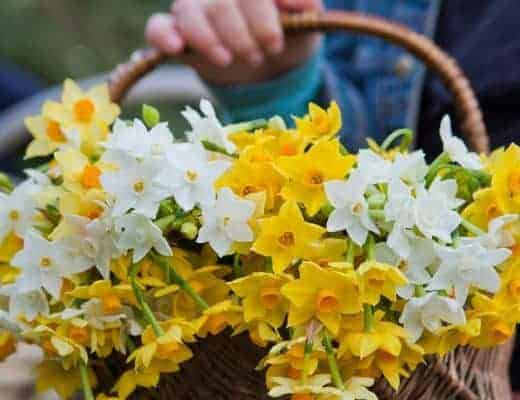 mothers day flowers narcissi from scilly flowers - sustainably grown and sent plastic free #mothersday #scilly #narciss #springflowers #frombritainwithlove