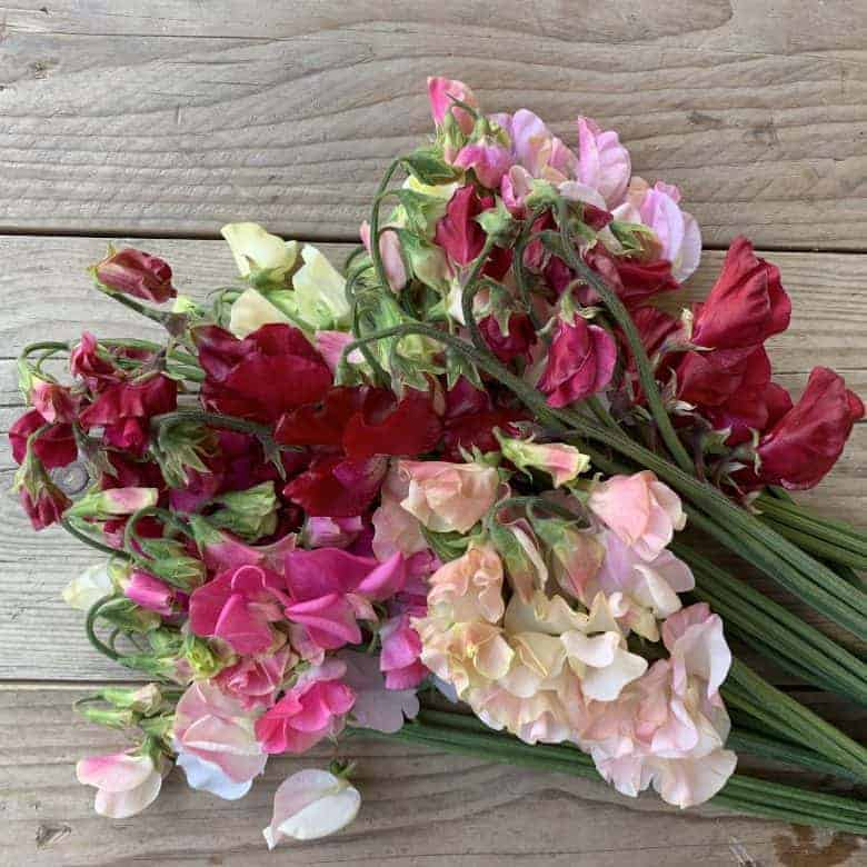 how to grow perfect sweet peas