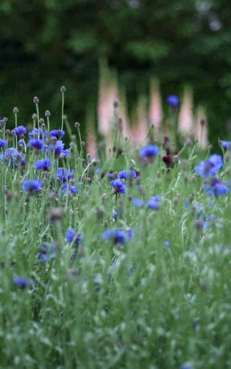 cornflowers meadow summer seasonal british flowers #cornflowers #blue #flowers #british