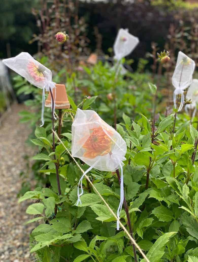 natural pest control dahlias - little drawstring bags for keeping bugs off your favourite blooms in the flower garden #pest #contril #organic #gardening