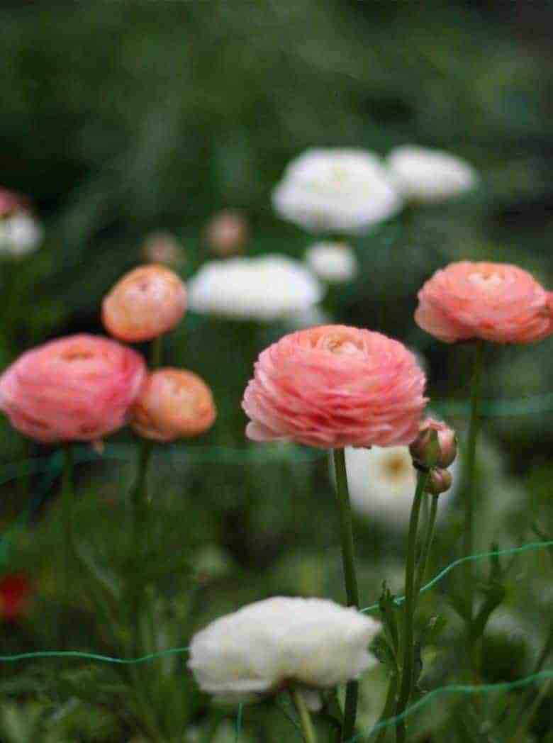salmon pink and white ranunculus grown in lancashire by henthorn farm flowers #ranunculus #spring #flowers #british