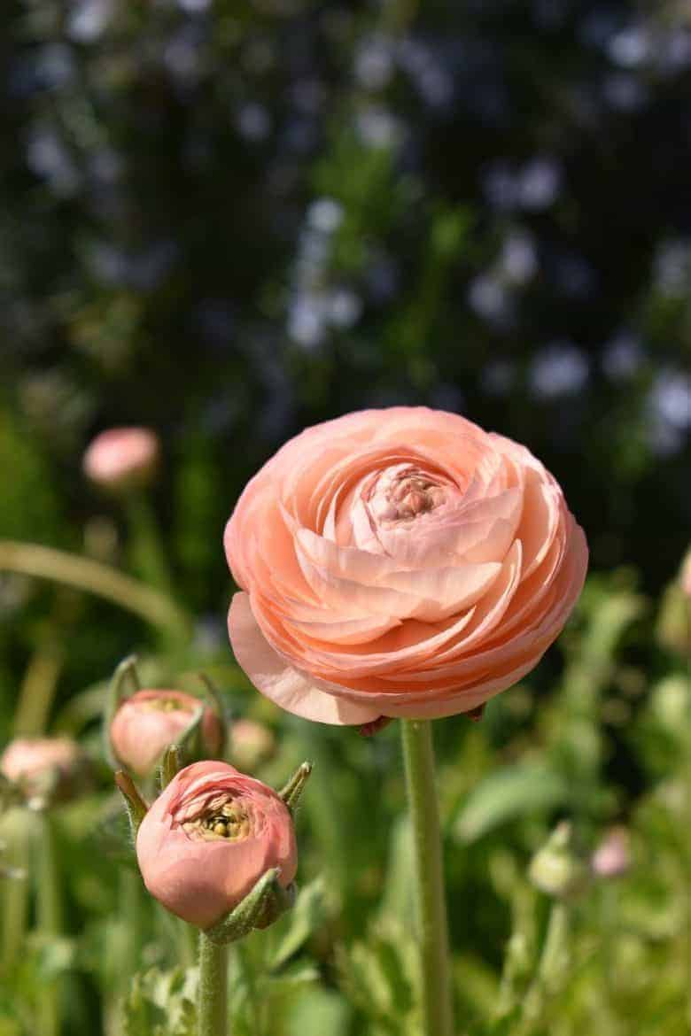 salmon pink ranunculus flower mindfulness nature therapy
