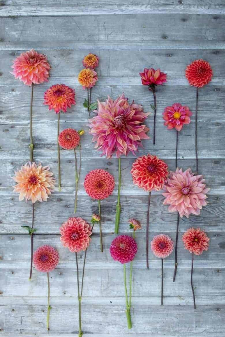 salmon pink and bright pink apricot dahlias flatlay by erin benzakein of floret - we share a sneak peek inside as well as a signed copy of her book Discovering Dahlias to win #dahlias #floret #salmon #pink #apricot