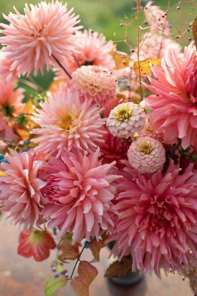 how to grow dahlias Discovering Dahlias book by erin benzakein of floret flower farm apricot salmon pink dinnerplate cafe au lait dahlias with all the information and expert tips you need to grow and arrange your own beautiful dahlias #dahlias #grow #arrange #floret #erinbenzakein #flowerfarm #slowflowers